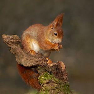 eekhoorn eet een nootje