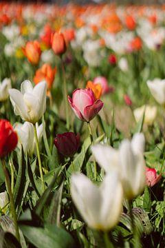 Rosa und weiße Tulpe in einem bunten Tulpenfeld von Robin van Steen