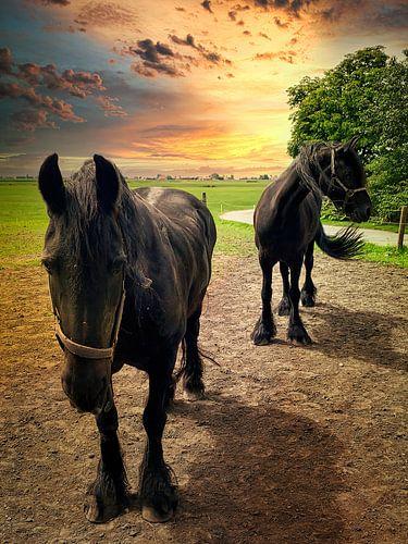 Twee Friese paarden