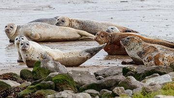 Nieuwsgierige zeehonden van Anjo ten Kate