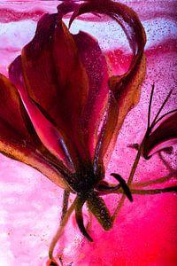 Gloriosa in rood ijs van Marc Heiligenstein