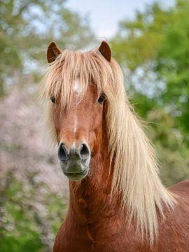 Pferdeportrait Aegidienberger Kreuzung zwischen Paso und Islandpferd von Katho Menden