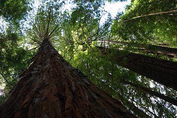 Redwoods sur Jeroen van Deel