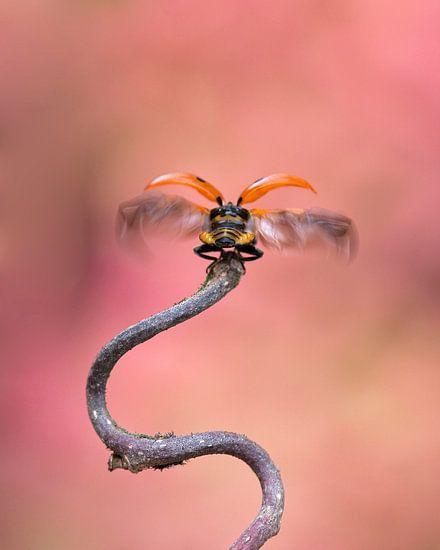 Lieveheersbeestje van Daan de Vos