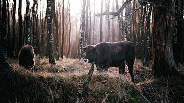 Kühe in Planken Gambeson, Ede von AciPhotography