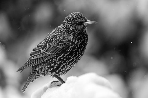 Spreeuw in de sneeuw in zwart wit