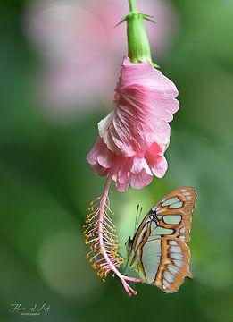 Malachietvlinder (Siproeta stelenes) op een Hibiscus bloem