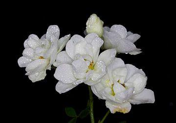 Witte rozenpracht van hetto hettema