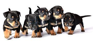 Jack Russel Pups van Ronald Timmer