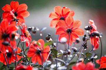 Rode bloemen in de regen