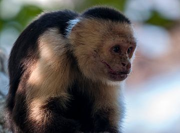 Witschouderkapucijnaap van Maarten Verhees