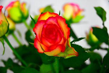 Rose von Johann Bucher