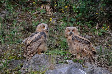 Europäische Uhus ( Bubo bubo ), zwei Jungvögel, Ästlinge, sitten nebeneinander im Abhang eines Stein von wunderbare Erde