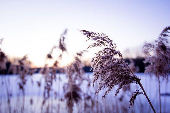 Riet in winterwonderland van Ramon Bovenlander