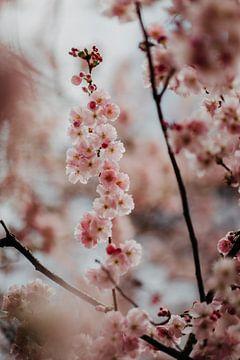 Roze kersenbloesem van Yvette Baur