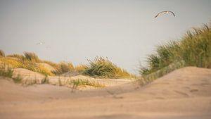Meeuw boven de duinen van de (Noordzee (Petten aan Zee) van