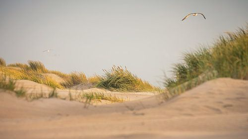 Meeuw boven de duinen van de (Noordzee (Petten aan Zee)
