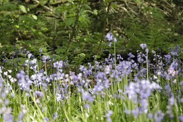 Wilde blauwe hyacinthen in het bos von Cora Unk
