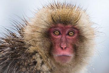 Portret van een Japanse Snow Monkey van Koen Hoekemeijer