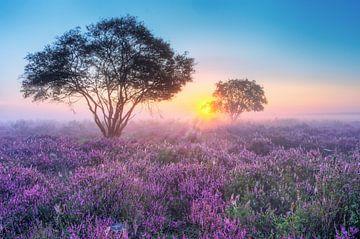 purple heather in the myst sur
