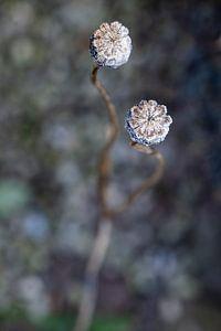 Verstild bevroren papaverbollen van Affect Fotografie
