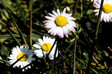 Witte bloemen Max Chrysanthemum in close-up van Kristof Leffelaer