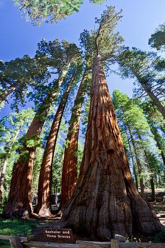 YOSEMITE VALLEY Giant Sequoias II van Melanie Viola