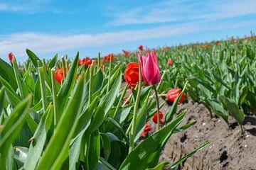 Veld met rode tulpen van Kim de Been