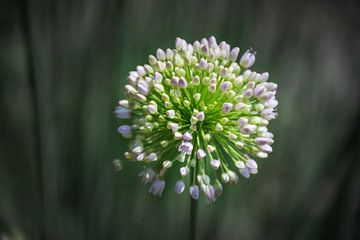 Dynamische Nahaufnahme der Alliumblume von Patrick Verhoef
