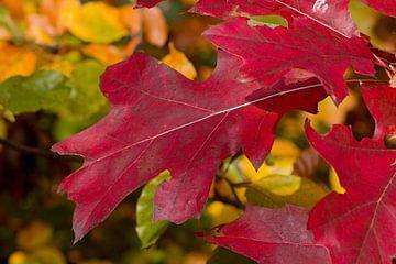 rood herfstblad van W J Kok