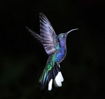 Kolibri van Veronie van Beek