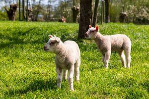 Lammetjes in een boomgaard, Lambs in an orchard, Lämmer in einem Obstgarten van