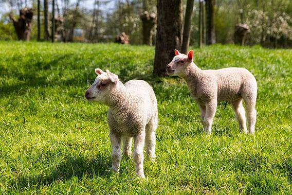 Lammetjes in een boomgaard, Lambs in an orchard, Lämmer in einem Obstgarten van Bram van Broekhoven