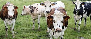 Groepje koeien in de wei