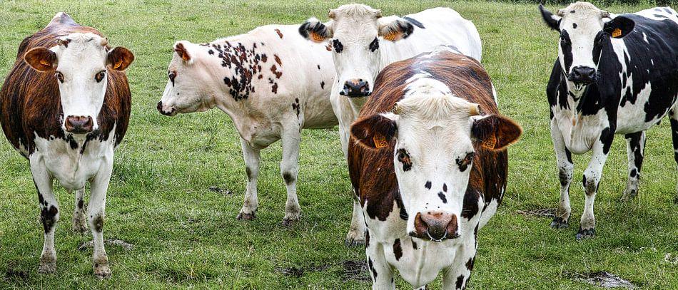 Groepje koeien in de wei van Joris Louwes