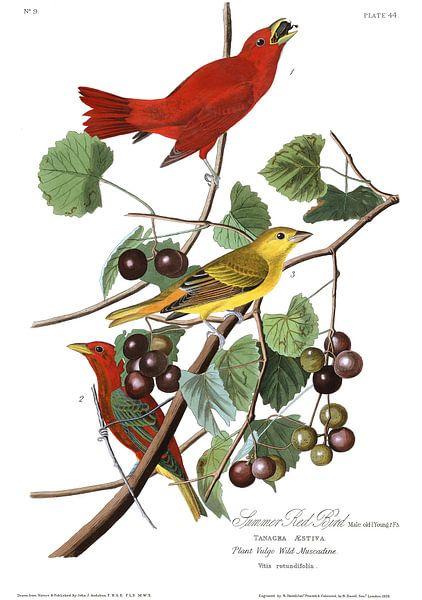 Zomertangare van Birds of America
