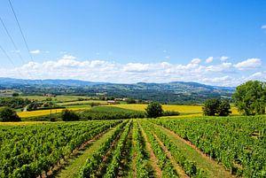 Wijnvelden in de zon