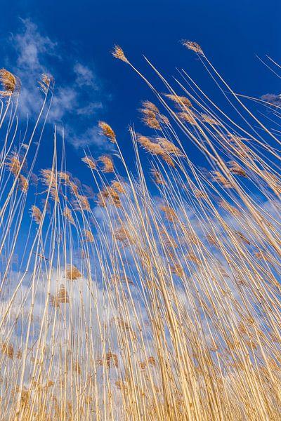 Goud gele riet halmen tegen een Hollandse bewolkte lucht. One2expose Wout Kok Photography van Wout Kok