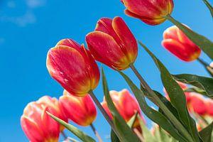 Rood gele tulpen van Elly Damen
