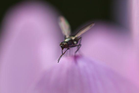 Kleine vlieg op een bloemblad van Geert Naessens