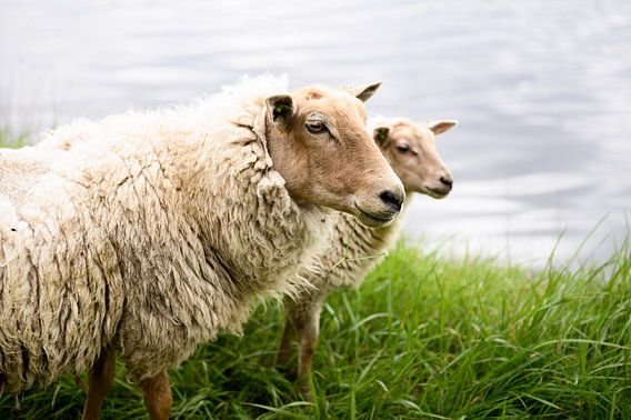 Portret van twee Hollandse schapen, fotoprint