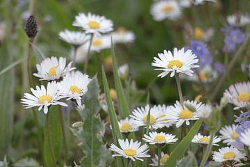 Gänseblümchen auf der Wiese von Ronenvief