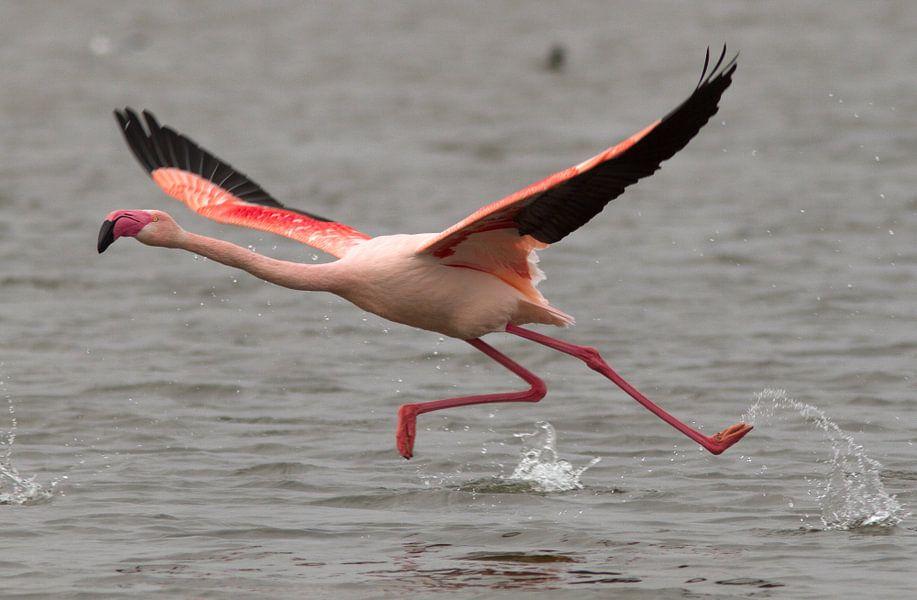 Chileense flamingo I van Michiel Leegerstee