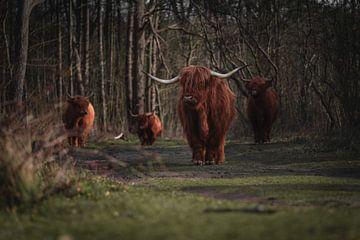 Vier schottische Highlander in den Dünen von Michael Jansen