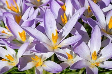 Paars, oranje en wit bloemen veld
