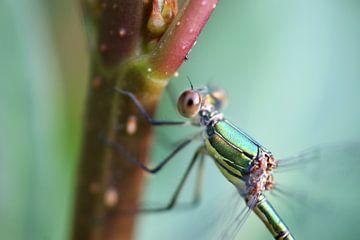 Libelle sur Jeroen van Deel