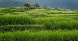 Rijstveld Bali.