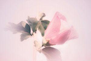 Hibiskus in Pastellfarben von Consala van  der Griend
