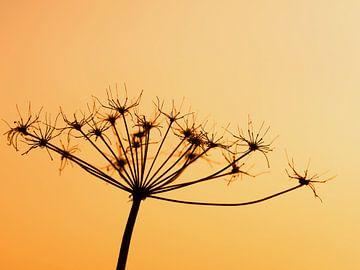 Verwelkte Blume im warmen Abendlicht von Katrin May