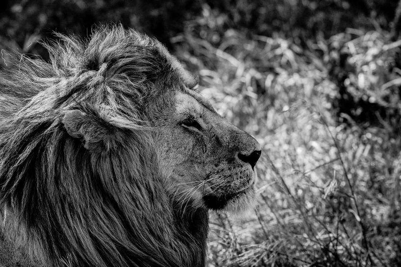 Lion B&W van Menno Selles